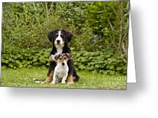 Bernese Mountain & Jack Russell Puppies Greeting Card