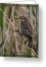 Big Dinner For Female Red Winged Blackbird I Greeting Card