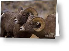 Big Horn Rams   #4664 Greeting Card
