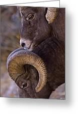 Big Horn Rams   #4732 Greeting Card