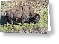 Bison Greeting Card