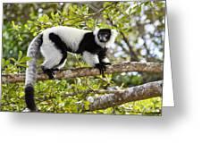 Black And White Ruffed Lemur Madagascar Greeting Card