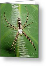 Black And Yellow Garden Spider Greeting Card