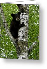 Black Bear  Ursus Americanus Greeting Card
