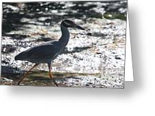 Black-crowned Night-heron Greeting Card