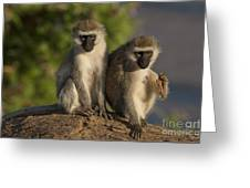 Black-faced Vervet Monkey Greeting Card