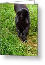 Black Jaguar  Greeting Card