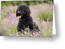 Black Labradoodle Greeting Card