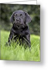 Black Labrador Puppy Greeting Card