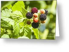 Black Raspberries 2 Greeting Card