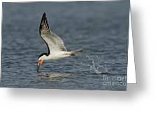 Black Skimmer Eating Fish Greeting Card