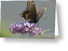 Black Swallowtail Butterfly Feeding Greeting Card