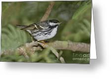 Blackpoll Warbler Greeting Card