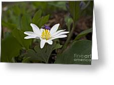 Bloodroot Wildflower - Sanguinaria Canadensis Greeting Card