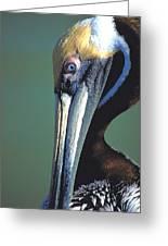 Blue-eyed Pelican Greeting Card