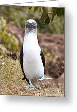 Blue Footed Boobie Dancing Galapagos Greeting Card