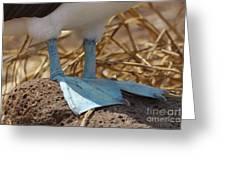 Blue Footed Boobie Galapagos Greeting Card