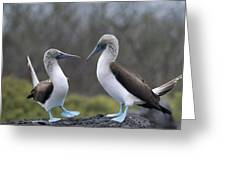 Blue-footed Boobies Courting Galapagos Greeting Card