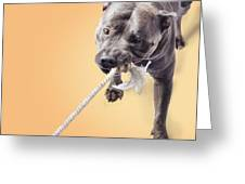 Blue Staffie Having A Tug Of War Greeting Card
