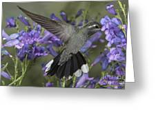 Blue-throated Hummingbird Greeting Card