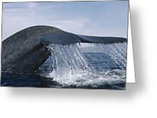 Blue Whale Tail Sea Of Cortez Mexico Greeting Card