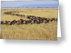 Blue Wildebeest Migrating Masai Mara Greeting Card