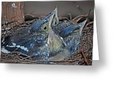 Bluejay Chicks Greeting Card