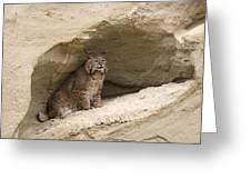 Bobcat  Felis Rufus Greeting Card by Carol Gregory