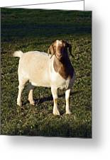 Boer Goat  Greeting Card