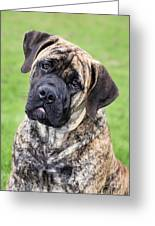 Boerboel Dog Greeting Card