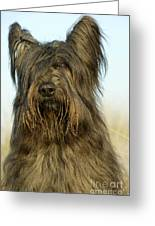 Briard Dog Greeting Card