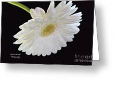 Bright White Gerber Daisy # 2 Greeting Card