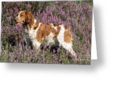 Brittany Spaniel Or Epagneul Breton Greeting Card