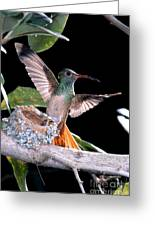 Buff-bellied Hummingbird At Nest Greeting Card