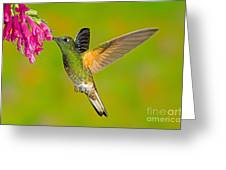 Buff-tailed Coronet Hummingbird Greeting Card