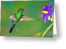 Buff-winged Starfrontlet Greeting Card