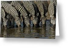 Burchells Zebra Equus Burchellii Herd Greeting Card