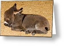 Burro Foal Greeting Card