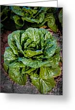 Butterhead Lettuce Greeting Card