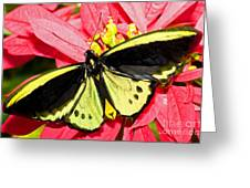 Cairns Birdwing Butterfly Greeting Card