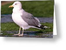 California Gull Greeting Card