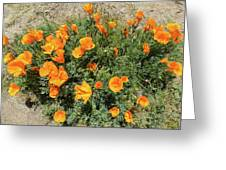 Californian Poppy Eschscholzia Greeting Card