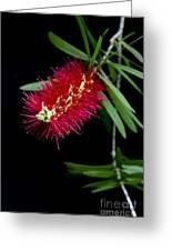 Callistemon Citrinus - Crimson Bottlebrush Hawaii Greeting Card