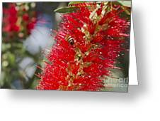 Callistemon Citrinus - Crimson Bottlebrush Greeting Card
