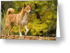 Canaan Dog Greeting Card
