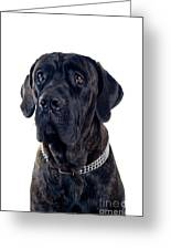 Cane-corso Dog Portrait Greeting Card
