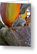 Canna Lily I  Greeting Card by Kirsten Giving