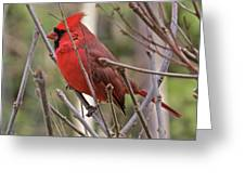 Cardinal 122 Greeting Card
