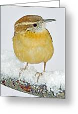 Carolina Wren In Winter Greeting Card