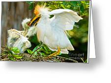 Cattle Egret With Young In Nest Greeting Card